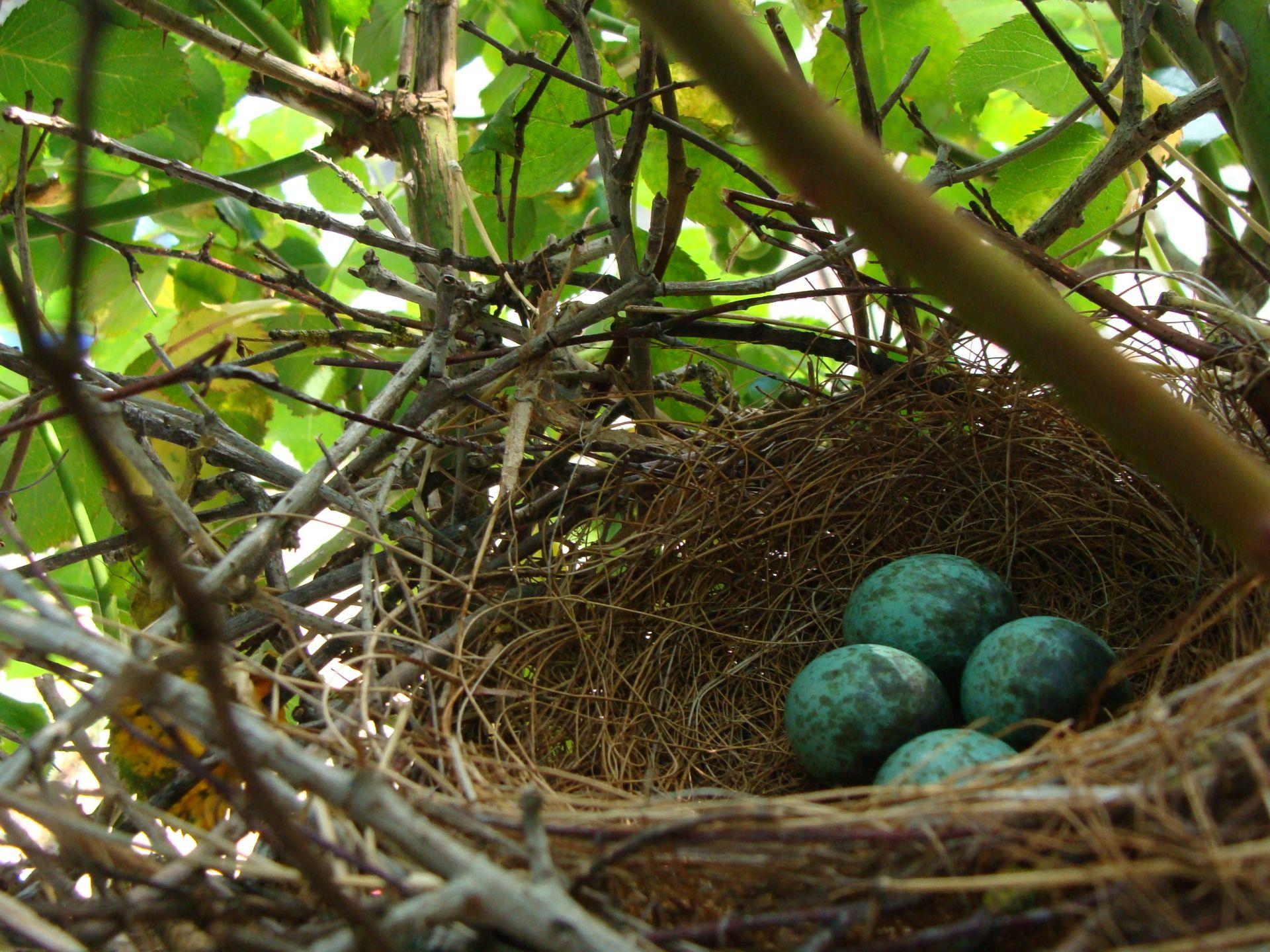 blue jay eggs - HD1920×1440